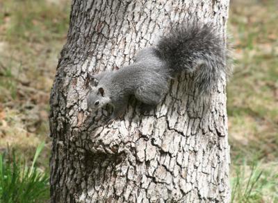 Natural Sightings #592 - Western Gray Squirrel.jpg