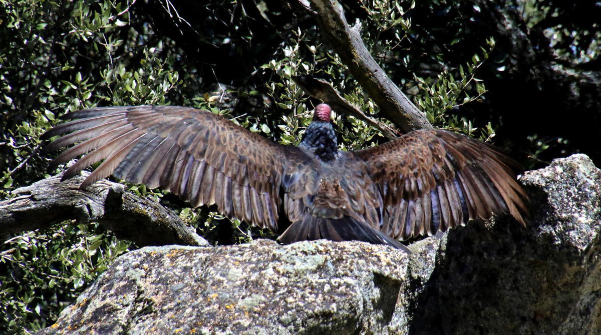 Natural Sightings #524 - Turkey Vultures 2.jpg