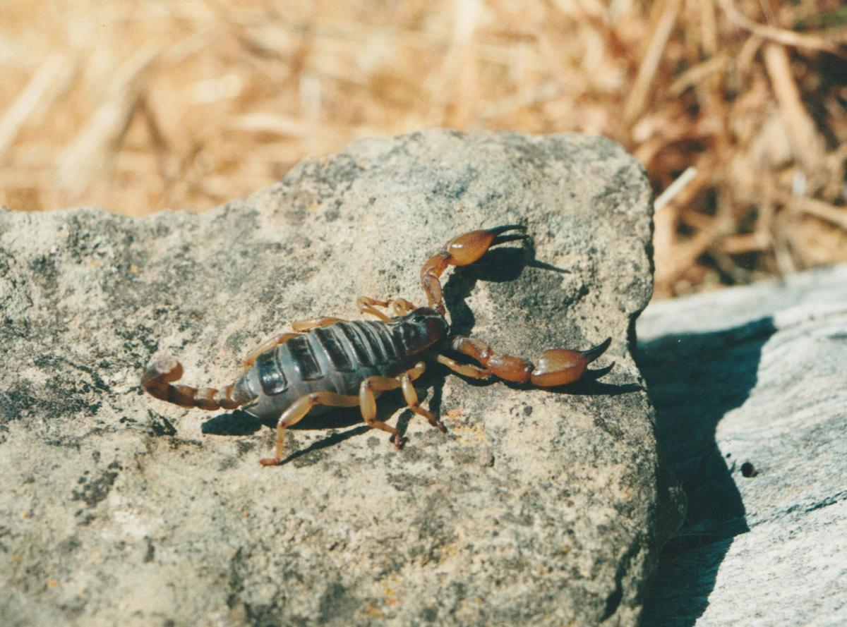 Pen in Hand: Scorpions: ancient creatures that live among us