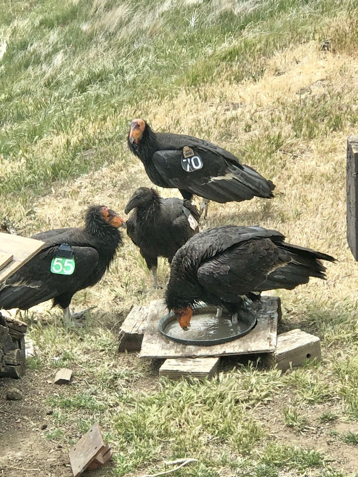 California Condors: putting Tehachapi in the national news