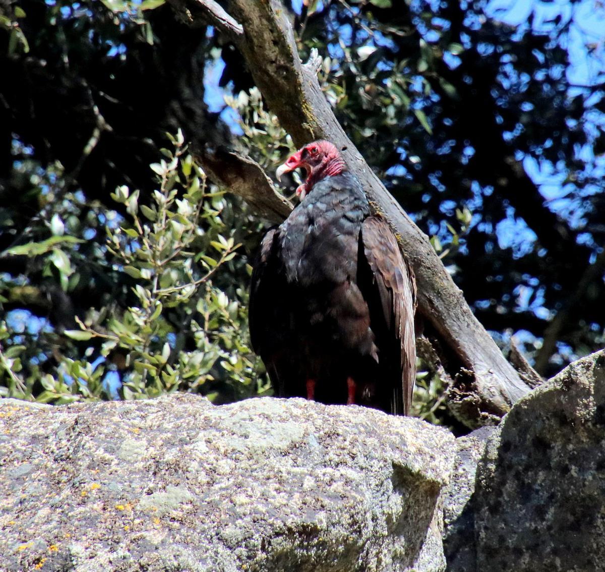 Natural Sightings #524 - Turkey Vultures 1.jpg
