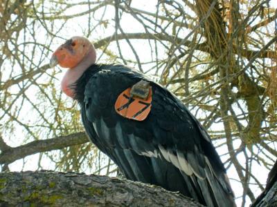 Natural Sightings #645 - California Condor.JPG
