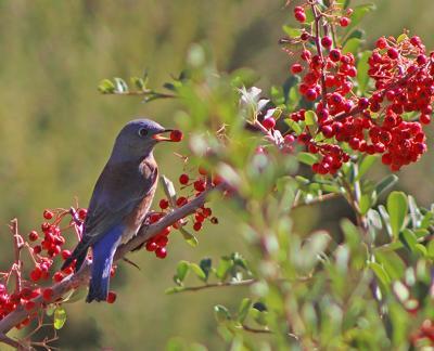 Natural Sightings #566 - Western Bluebird and Pyracantha Berries.jpeg