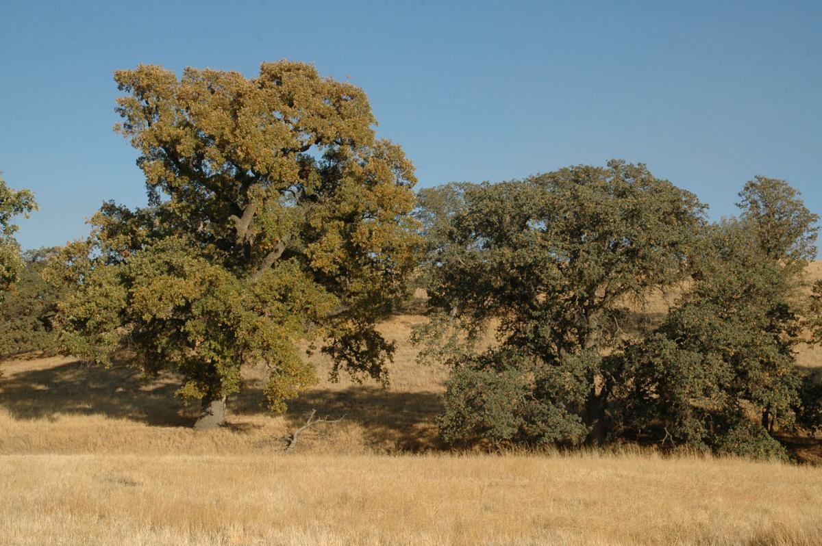 Pen in Hand #1439 - Valley Oak Savanna 1.jpg