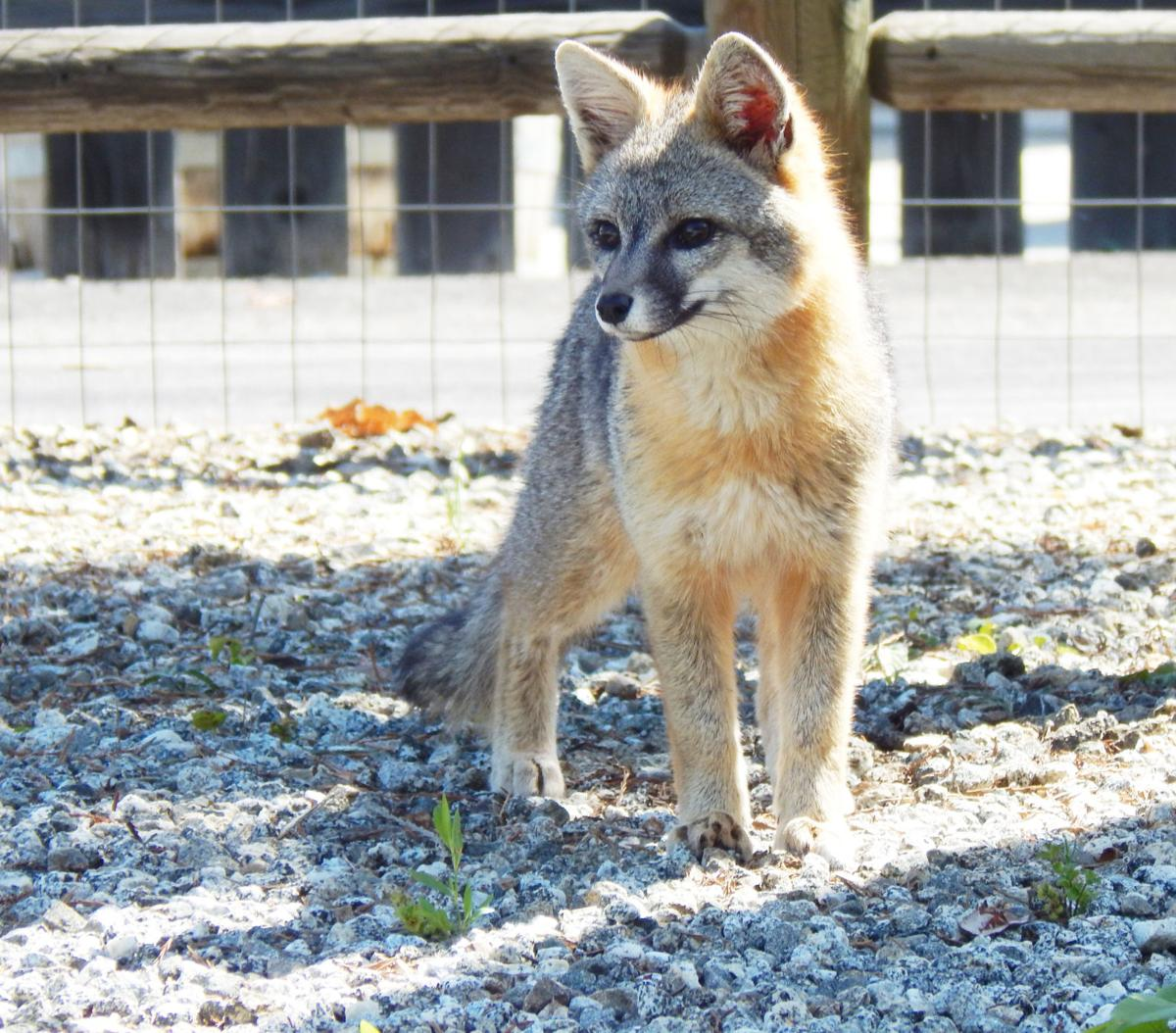 Pen in Hand #1509 - The Fox and the Cat 2.JPG
