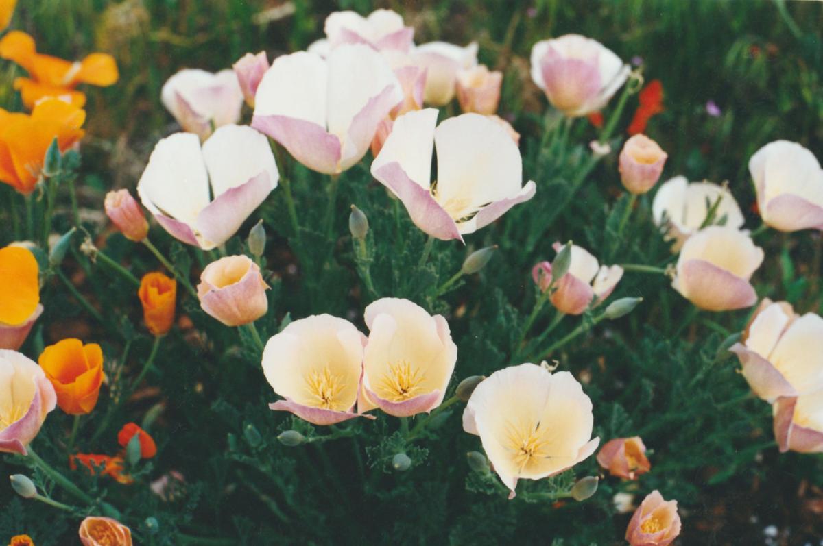 Pen in Hand #1500- White Poppies 2.jpg