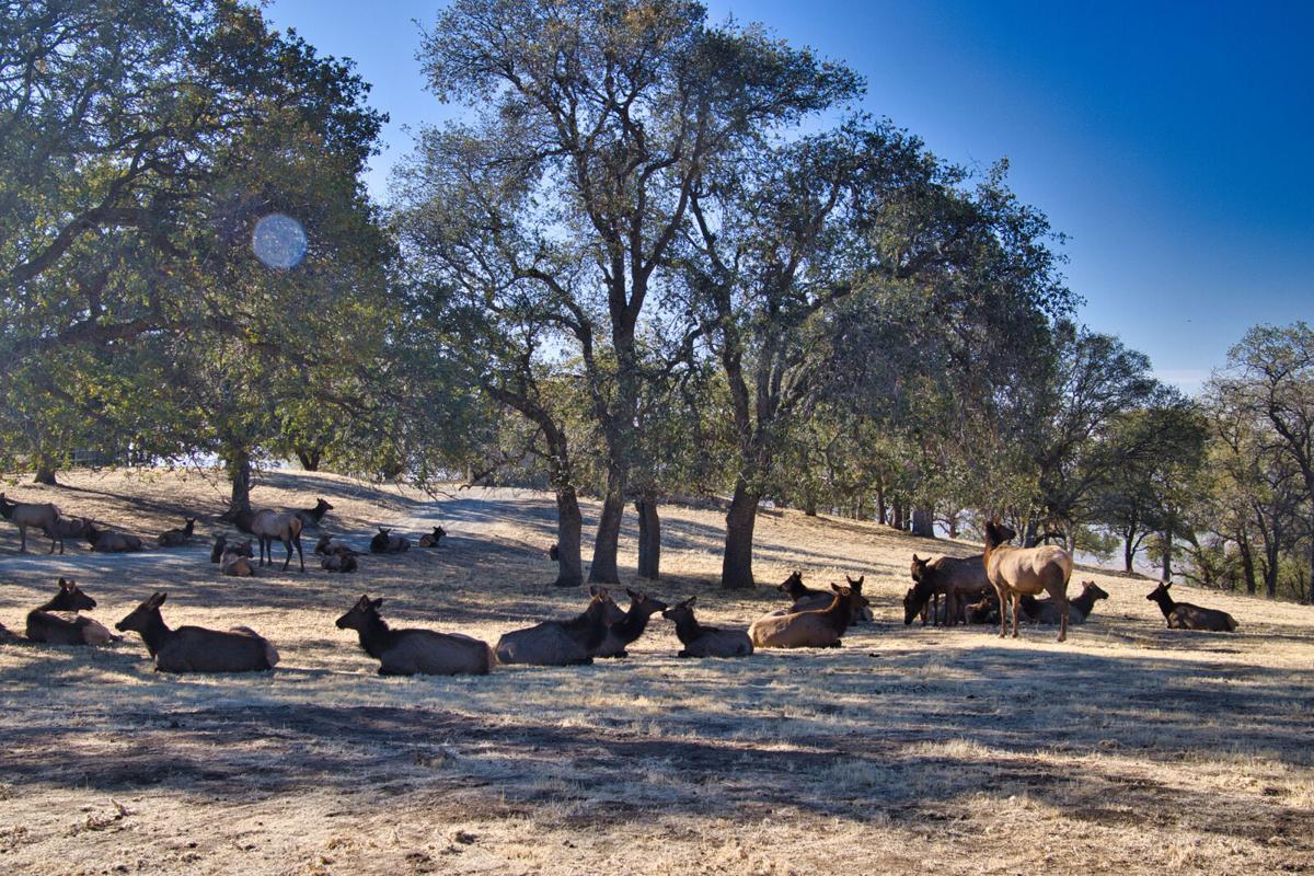Pen in Hand #1706 - Big Elk Herd 1.jpg
