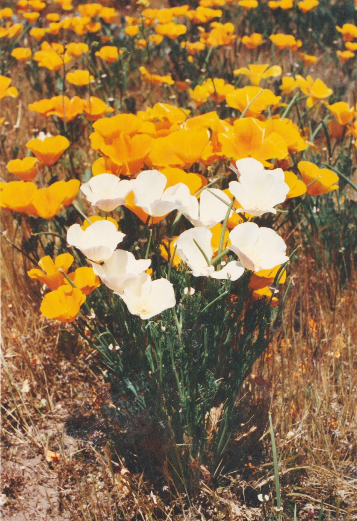 Pen in Hand #1500- White Poppies 1.jpg