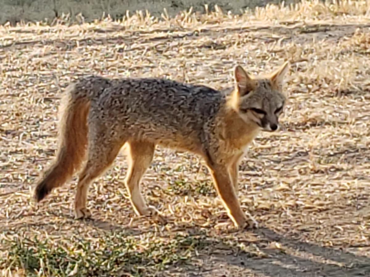 Natural sightings #490 gray fox
