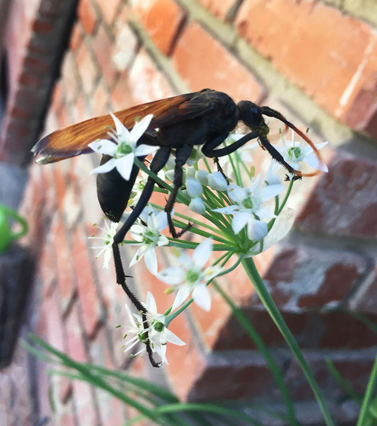natural sightings tarantula hawks deliver a painful sting