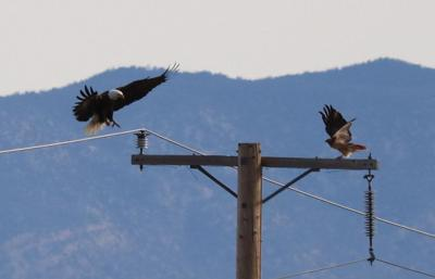 Natural Sightings #568 - Bald Eagle and Red-tailed Hawk.JPG