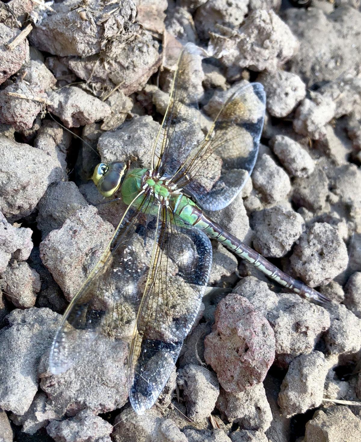Natural Sightings #507 - Green Darner Dragonfly 2.jpg