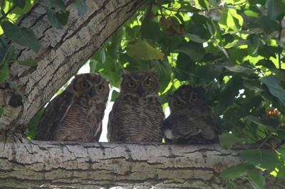 Natural Sightings #597 - Great Horned Owls.JPG