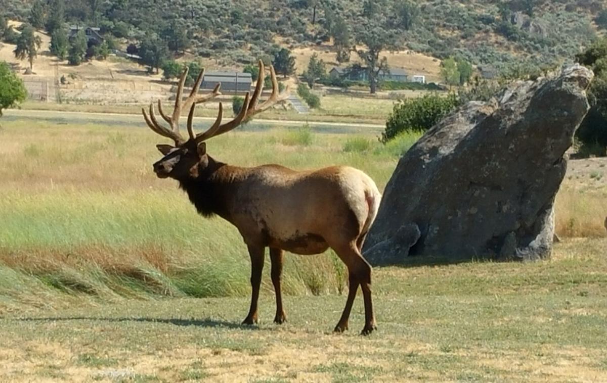 Natural Sightings bull elk