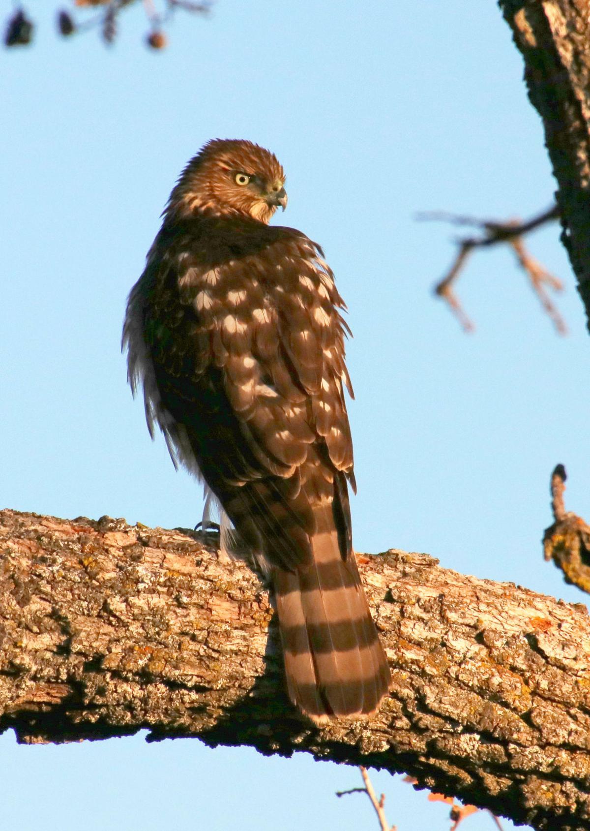 Natural Sightings #506 - Cooper_s Hawk 2.JPG