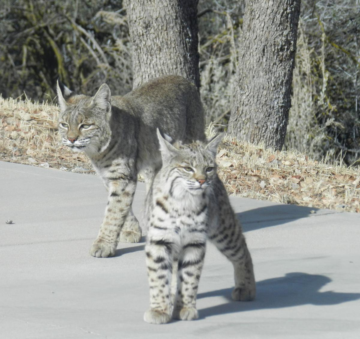 Pen In Hand Bobcat Moms Take On Major Parenting Role Lifestyle Tehachapinews Com
