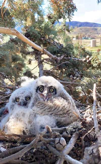 Natural Sightings #575 - Great Horned Owl Chicks.png