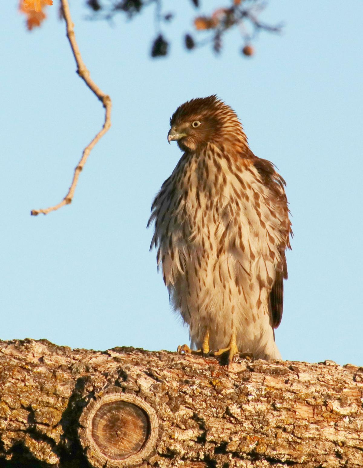 Natural Sightings #506 - Cooper_s Hawk 1.JPG