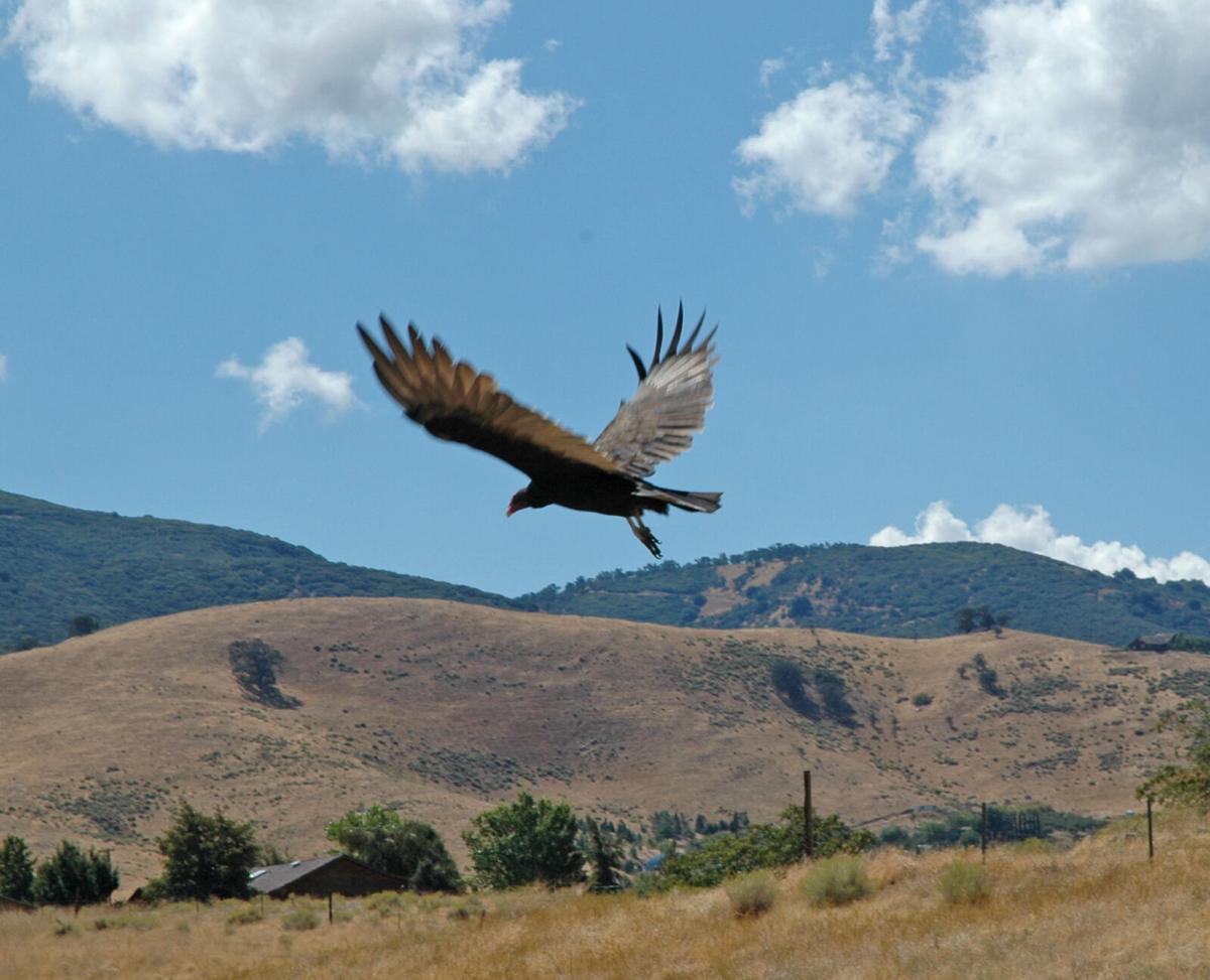 Pen in Hand #1719 - Turkey Vultures Return 1.jpg