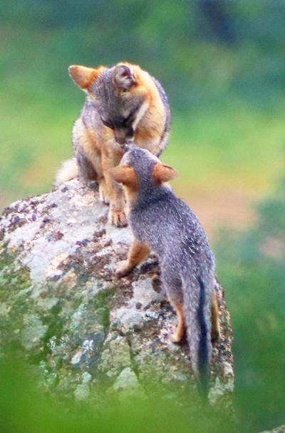 Natural Sightings #576 - Gray Fox Parent and Kit.jpg