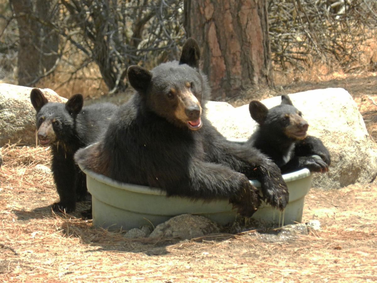 Pen in Hand #1741 - Black Bears 1.JPG