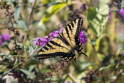 Natural Sightings #606 - Western Tiger Swallowtail on Butterfly Bush.jpg