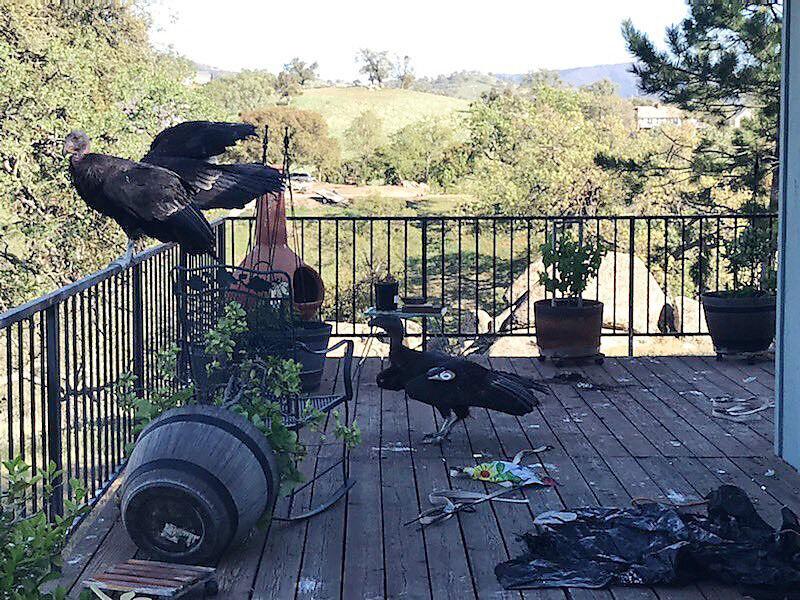 ODD Messy California Condors