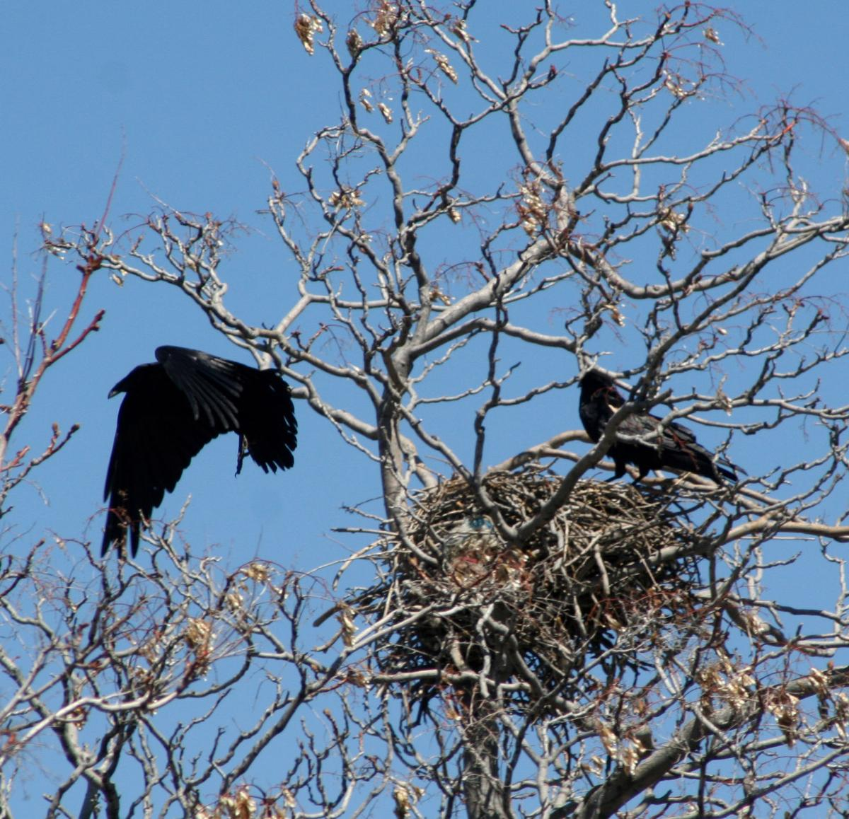 Pen in Hand: Man-made nesting material: ravens' nest found with more