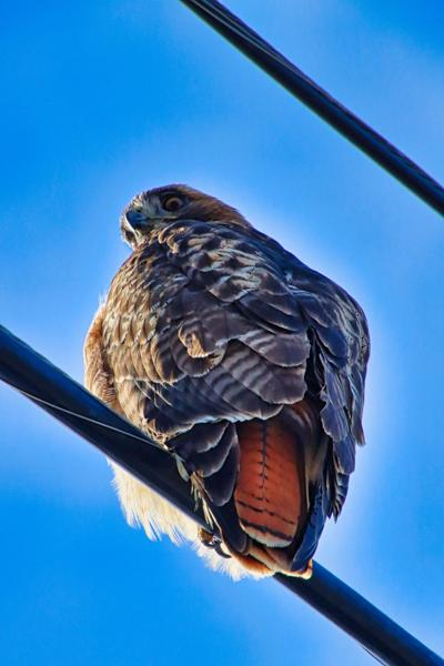 Natural Sightings #565 -  Red-tailed Hawk.jpg