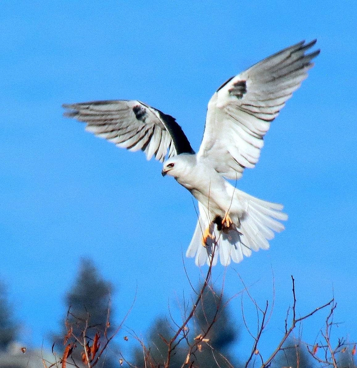 Pen in Hand #1485 - White-tailed Kite Pair 2.jpg