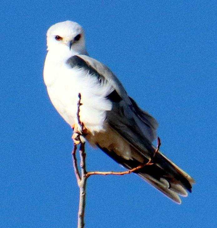 Pen in Hand #1485 - White-tailed Kite Pair 1.jpg