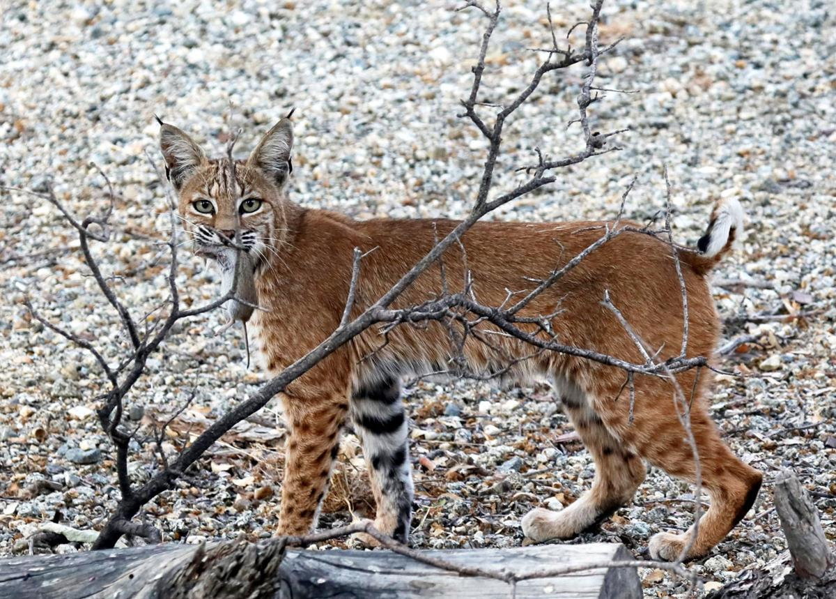 bobcat with gopher