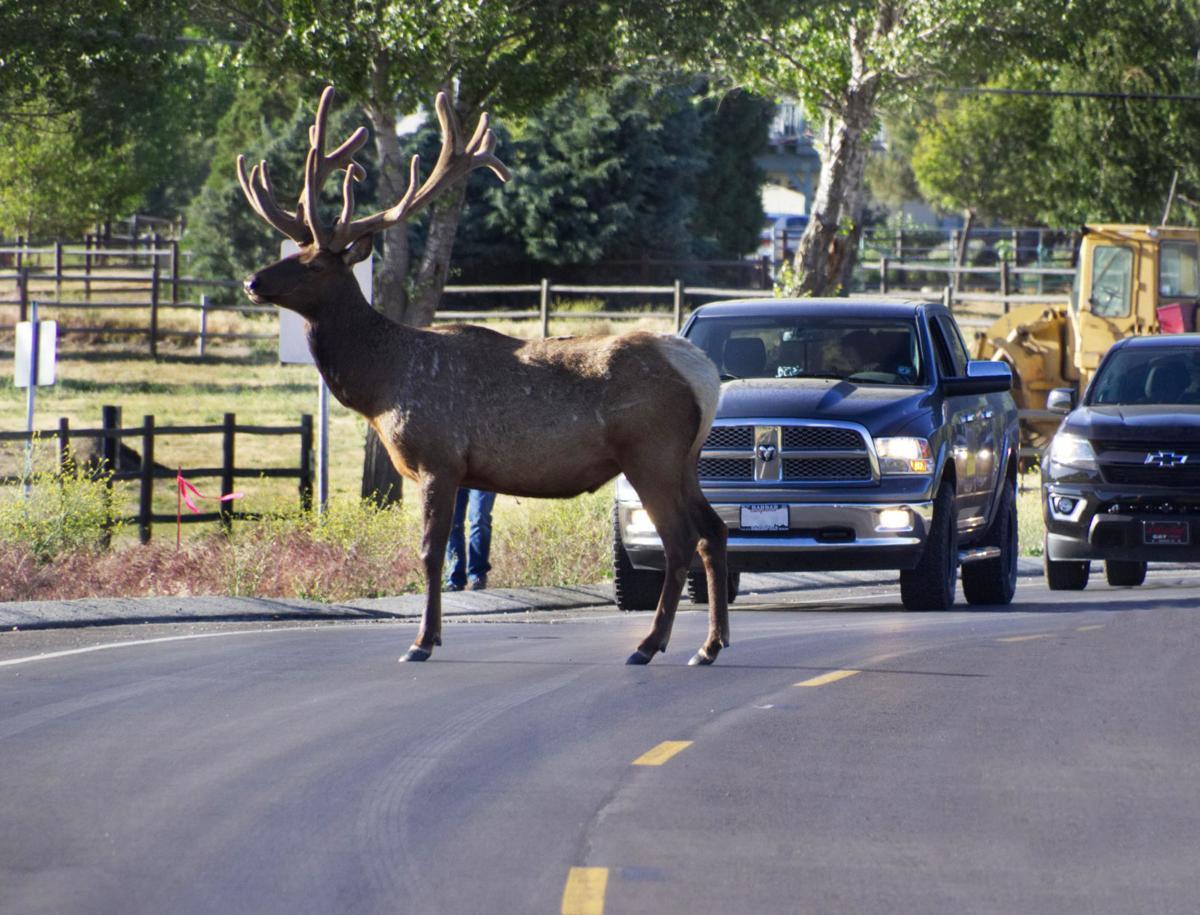 Natural Sightings #431 - Bull Elk Stopping Traffic