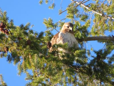 Natural Sightings #571 - Red-tailed Hawk.jpg
