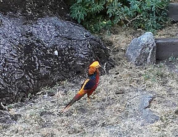 Natural Sightings pheasant