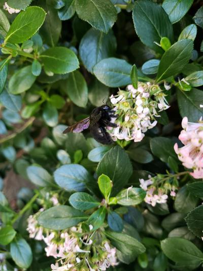 Natural Sightings #1635 - Valley Carpenter Bee.jpg