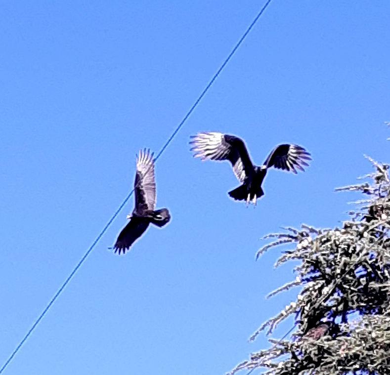 Natural Sightings #550 - Turkey Vultures 2.jpg