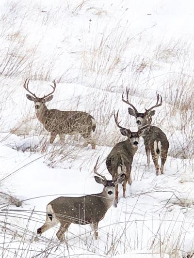 California Mule Deer bucks