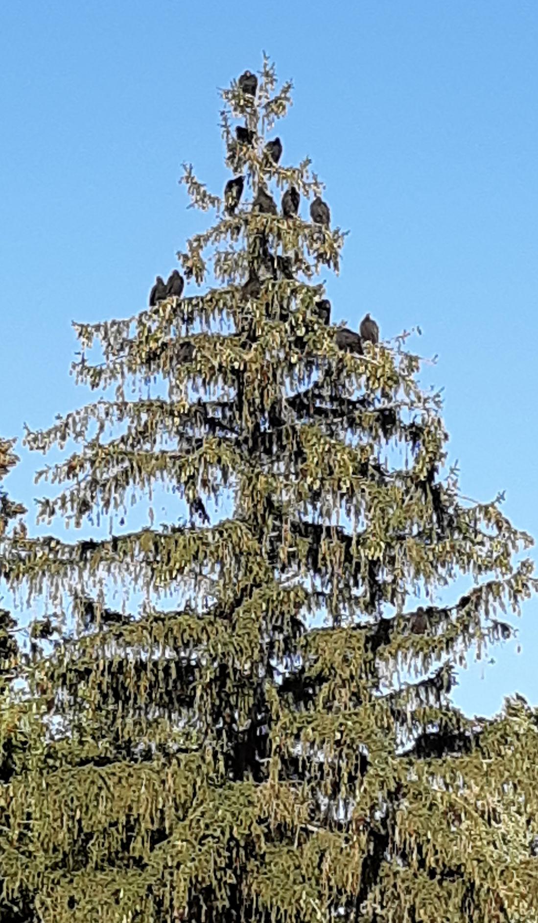 Natural Sightings #550 - Turkey Vultures  1.jpg
