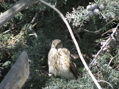 Natural Sightings #567 - Sharp-shinned Hawk.JPG