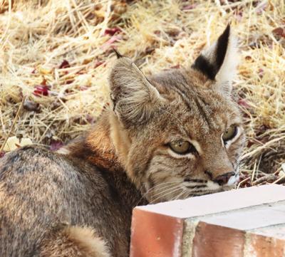 Natural Sightings #608 - Resting Bobcat.jpg