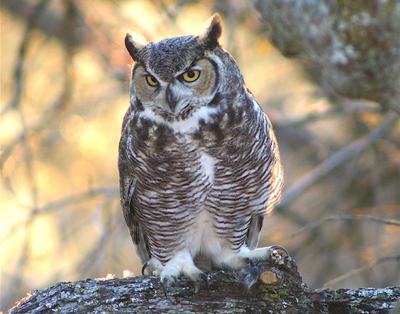 Natural Sightings #557 - Great Horned Owl.jpeg