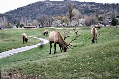 Natural Sightings #564 - Bull Elk on Golf Course.JPG