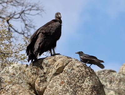 Natural Sightings #1629 - Condor With Raven.jpeg
