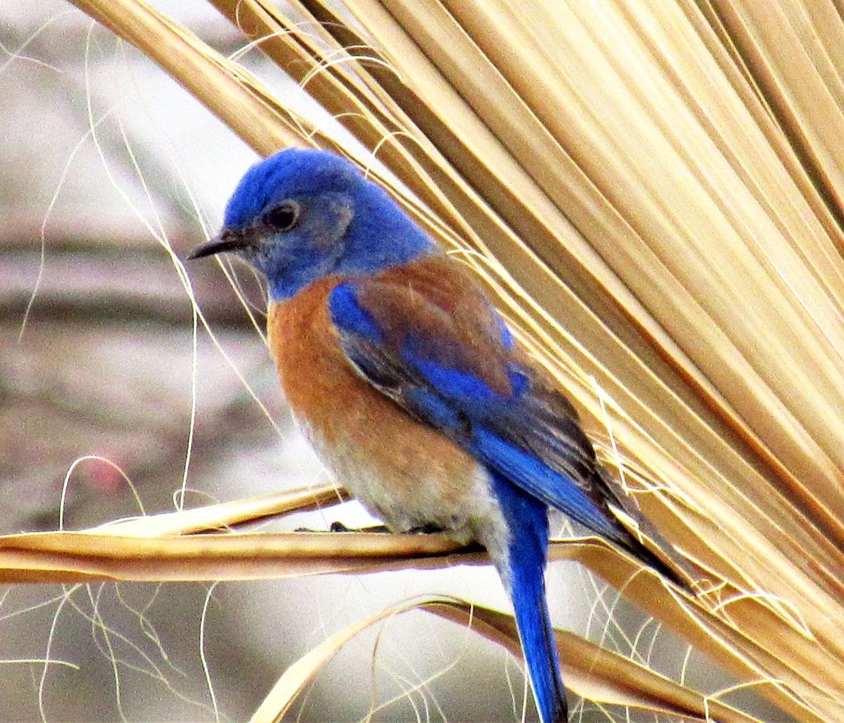 Pen in Hand #1443 -Western Bluebirds 1.jpg
