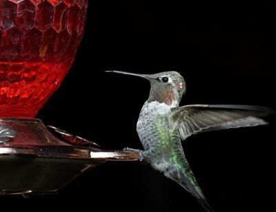 Natural Sightings #650 - Anna's Hummingbird.JPG