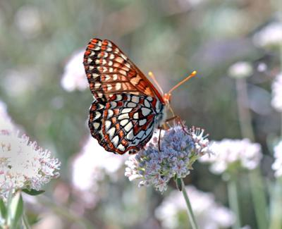 Natural Sightings #618 - Chalcedon Checkerspot.JPG