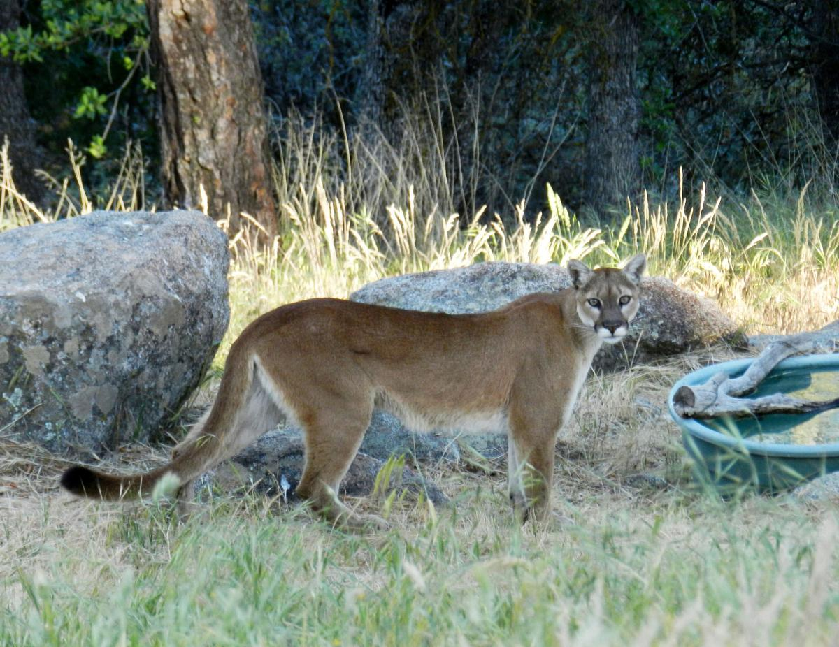 Pen in Hand #1402 - Mountain Lion 1.jpg