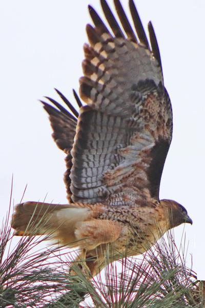 Natural Sightings #1624 - Red-tailed Hawk.jpg