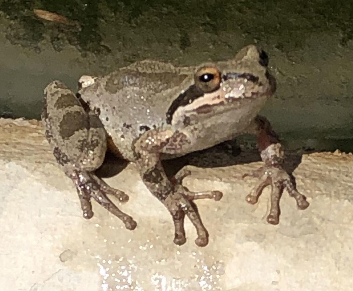Natural Sightings #644 - Pacific Chorus Frog 2.jpg